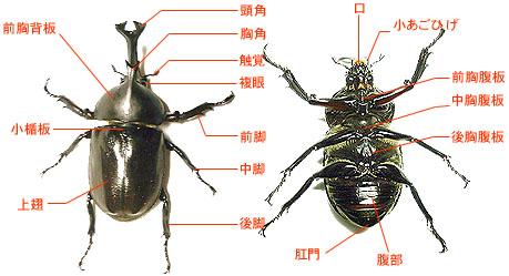 カブトムシの画像 p1_18
